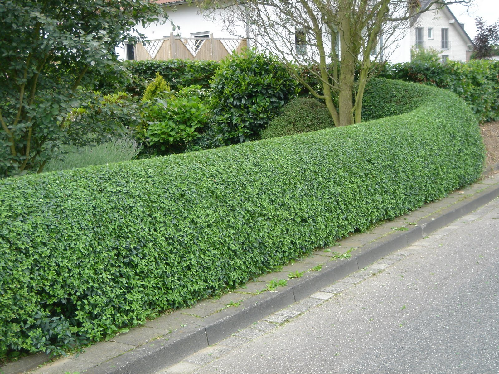 Hedging replacement advise what hardy plants to use for hedging
