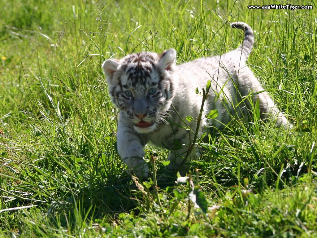 Tiger Wallpapers Baby White Tiger Wallpaper