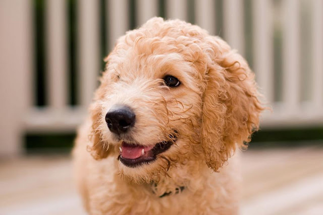The golden labradoodle puppy image