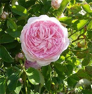 natur und umwelt nah und fern meine rose k nigin von d nemark bl ht. Black Bedroom Furniture Sets. Home Design Ideas