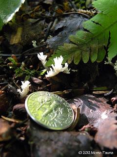 Wee Coral Fungi emerging.
