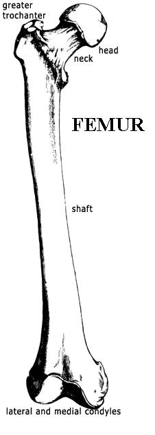 thegns of mercia size matters Femur Bone Anatomy Femur Bone Anatomy