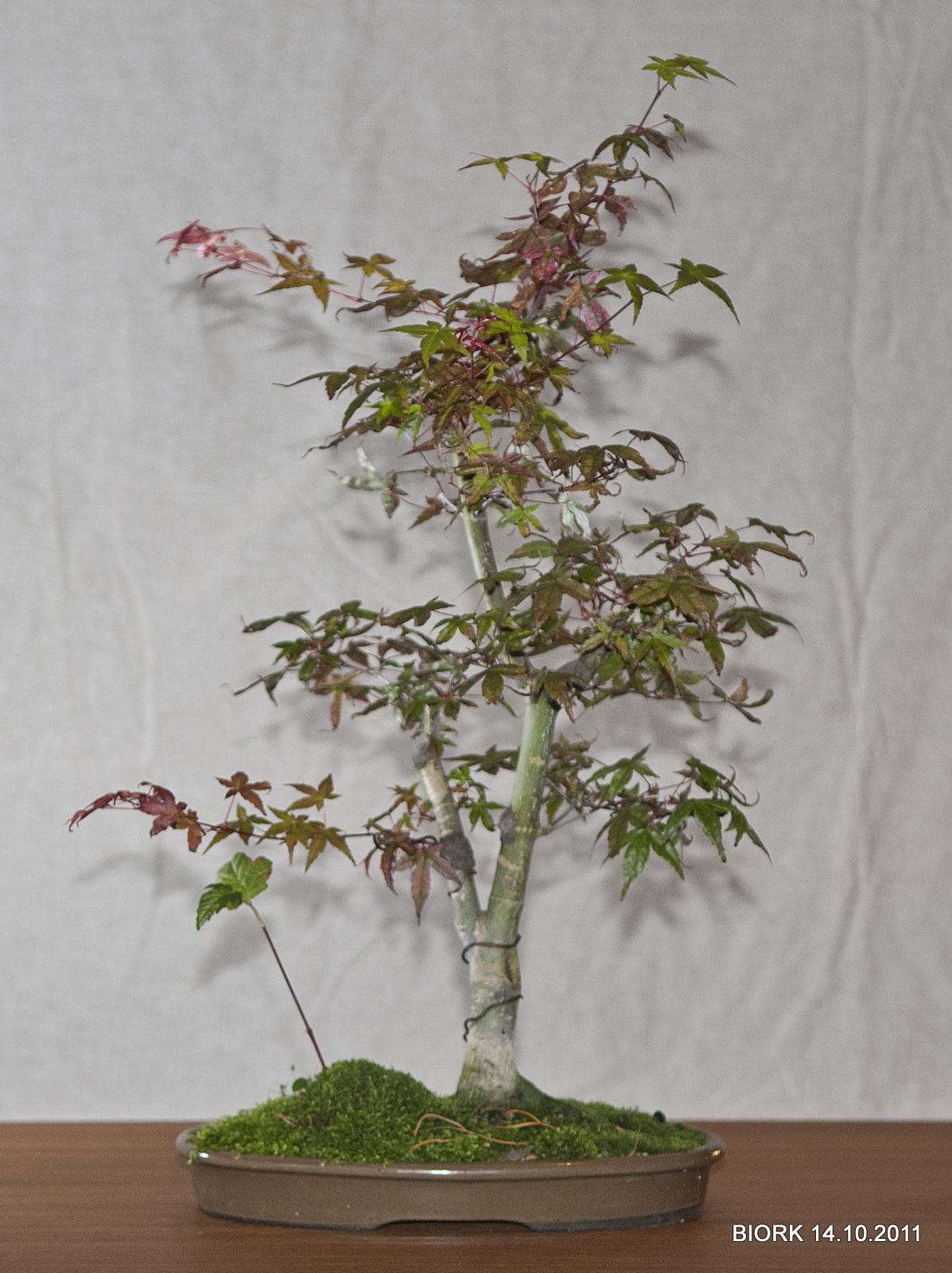 My Bonsai Bonsai Haiku And Japanese Red Maple Update