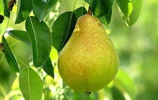 buah pir khasiat dan manfaat buah pir bagi kesehatan