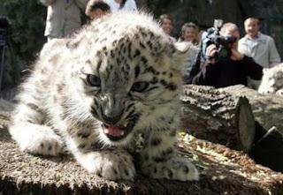 Lucunya Anak Macan Tutul