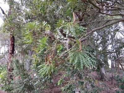 Bull Banksia (Banksia grandis)
