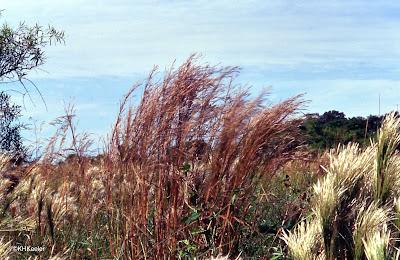 grasses in Argentina