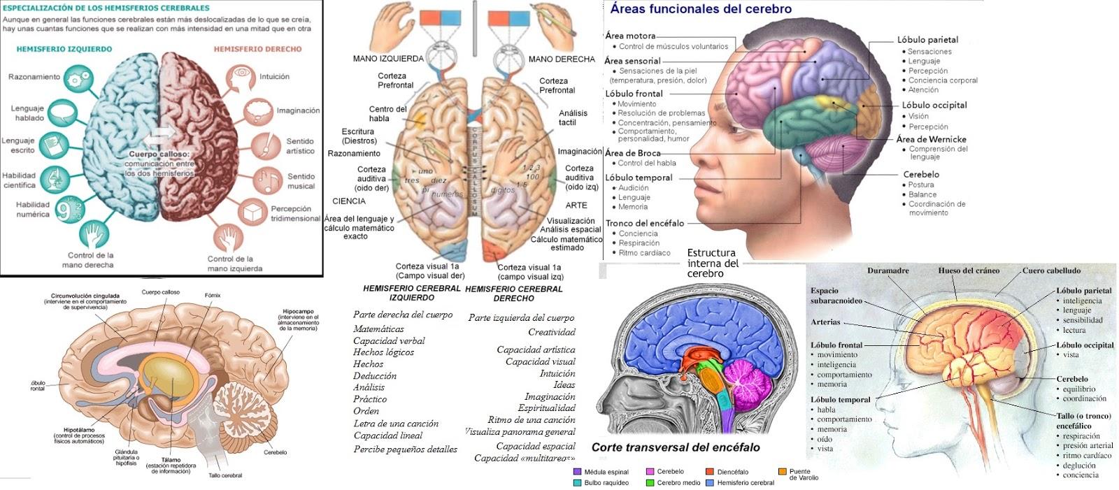 Estudio de creatividad: Hemisferios cerebrales