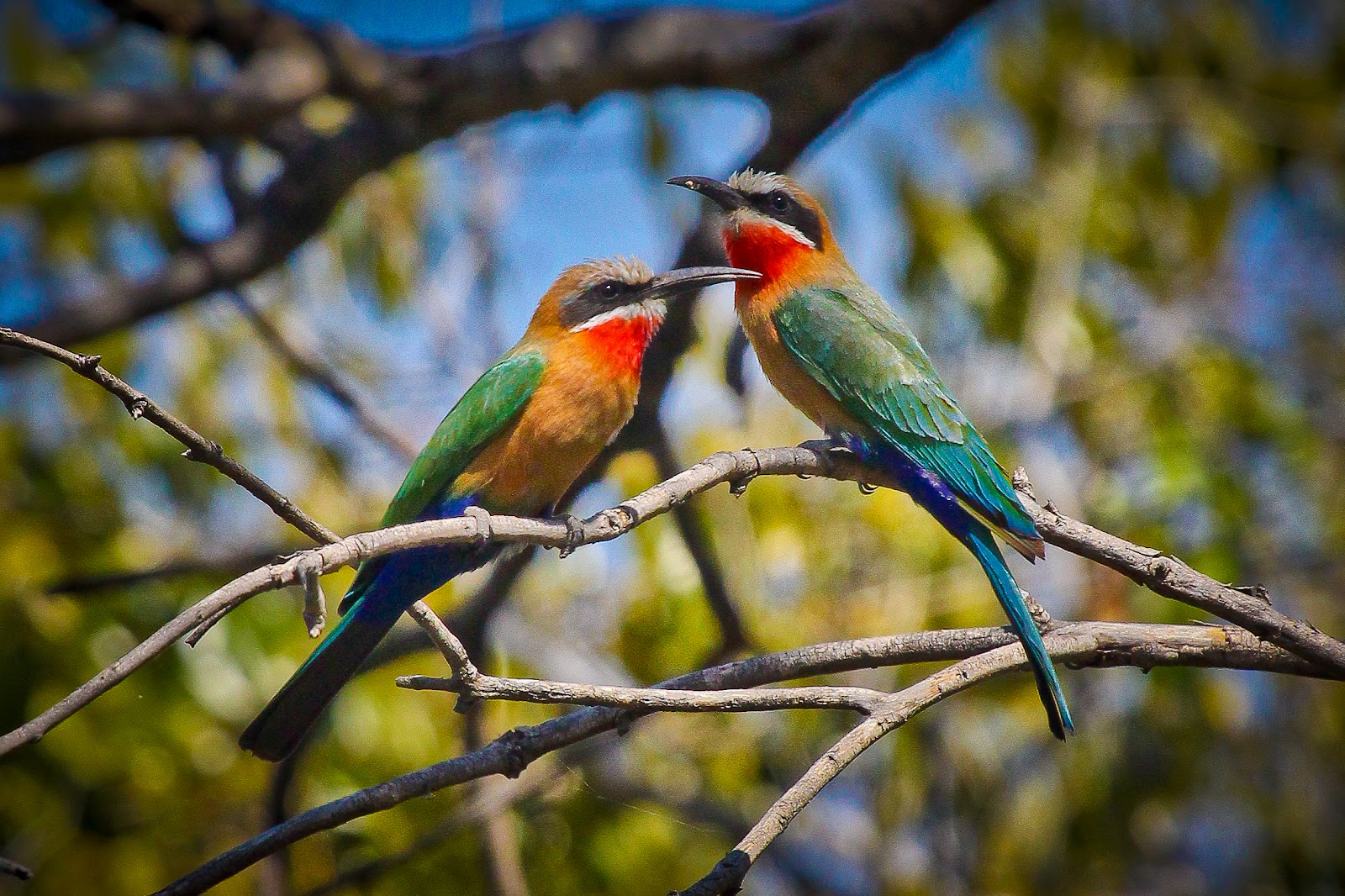 Feather Tailed Stories White Fronted Bee Eater Africa