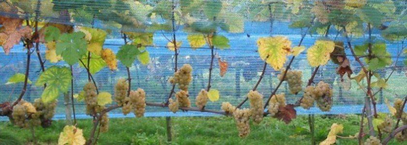 Weblog Wijnbouw Jet Wester