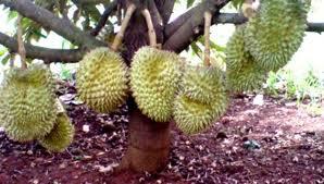 budidaya, durian, cara, menanam, tanaman