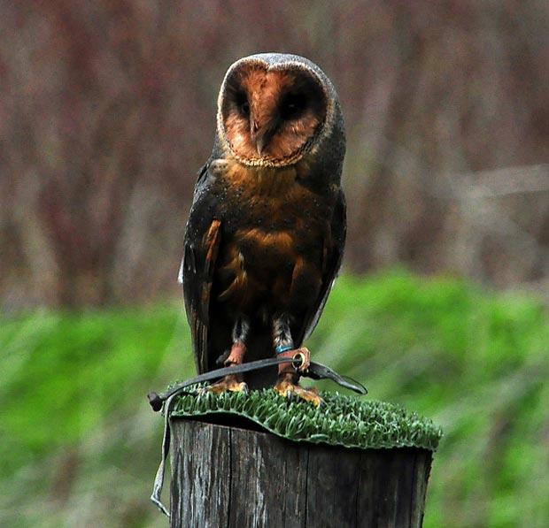 بالأسود أحلى حيوانات سوداء ولكنها جميلة melanistic-barn-owl.
