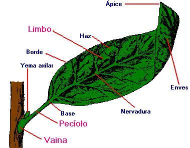Cuántos tipos de hojas!