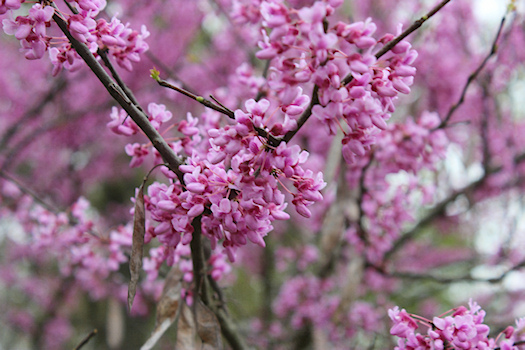 Redbud Photo by Tori Beveridge AHWT
