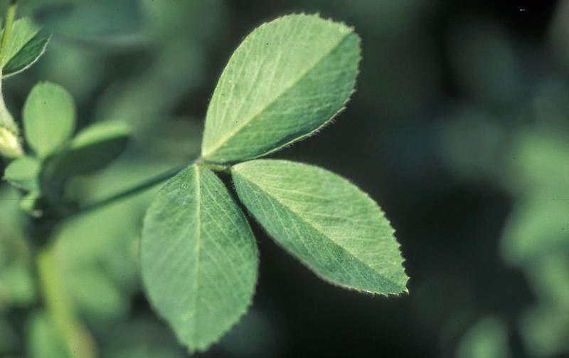 sembelit rawat dengan alfalfa leaves
