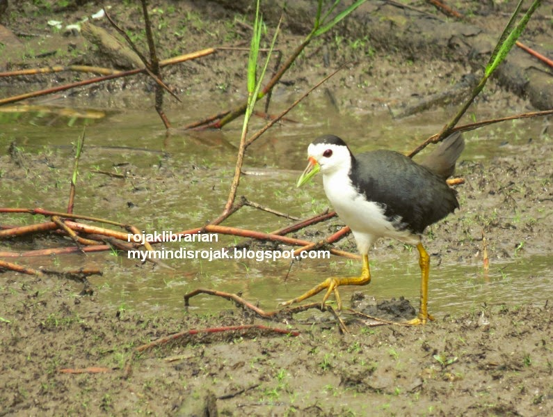 White-breasted Waterhen in Tampines Eco Green