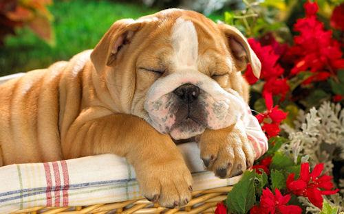 Perro flojo - Lazy Dog