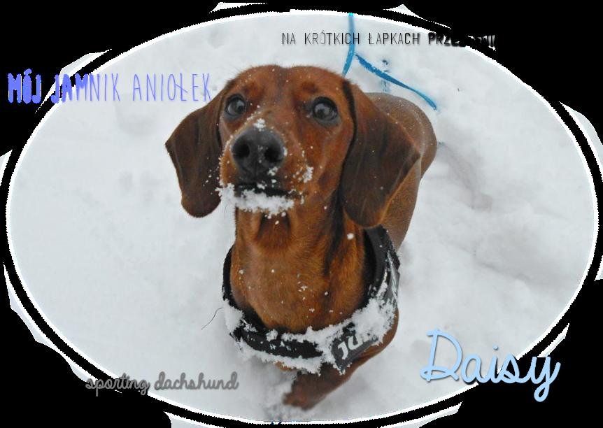 Daisy - na krótkich łapkach przez świat