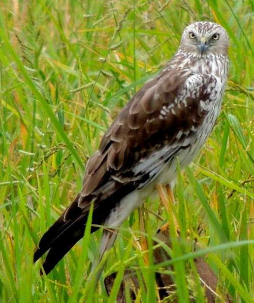 Indian birds - Image of Pied harrier - Circus melanoleucos