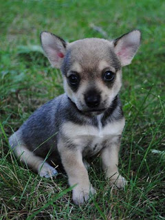 Anak Anjing Imut