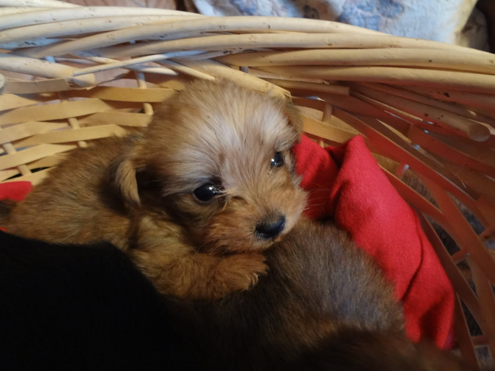 Yorkie-Poo male puppy