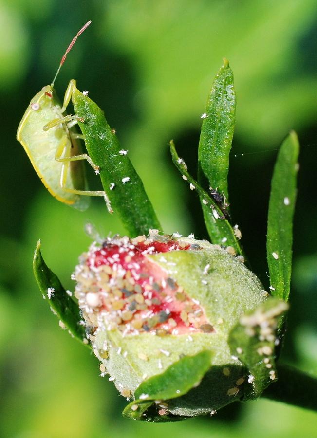 pidocchi delle piante come eliminarli