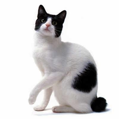 Japanese Bobtail Cat History