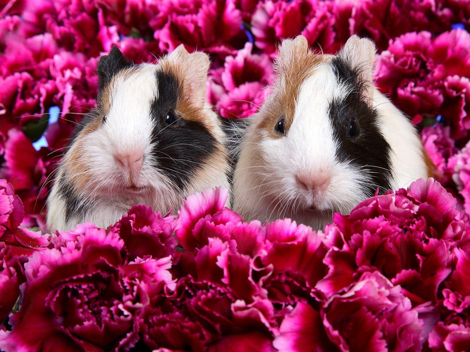 http://1.bp.blogspot.com/--UX-o8DCQ_8/Toa4viFxCqI/AAAAAAAAAko/3j3Reu4tgaA/s1600/Guinea-Pigs-wallpaper.jpg