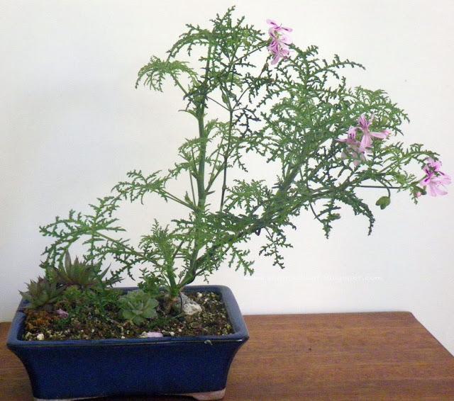 pelargonium denticulatum, filicifolium, fern leaf, pine scented bonsai