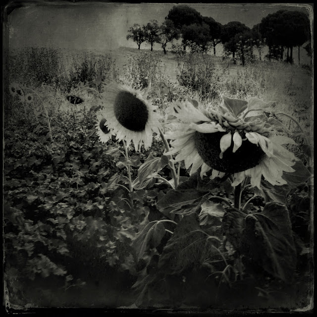 iphoneography, iphoneart, landscape Photo pictorialism, iphoneografias, iphone photography, Mobile photography, iphone, sunflowers, nem