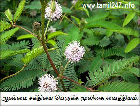 Aanmai kurai mooligai vaitiyam, ஆண்மை சக்தியை பெருக்க மூலிகை வைத்தியம். (Thotta Chinungi/Touch me not Plant - Masculinity - Mimosa pudica Linn - Sensitive Plant leaves), Thottal sinungi ilai, Thotta chinungi / Touch me not Plant, Natural medicine for Men impotent cure,Mimosa pudica - Sensitive Plant