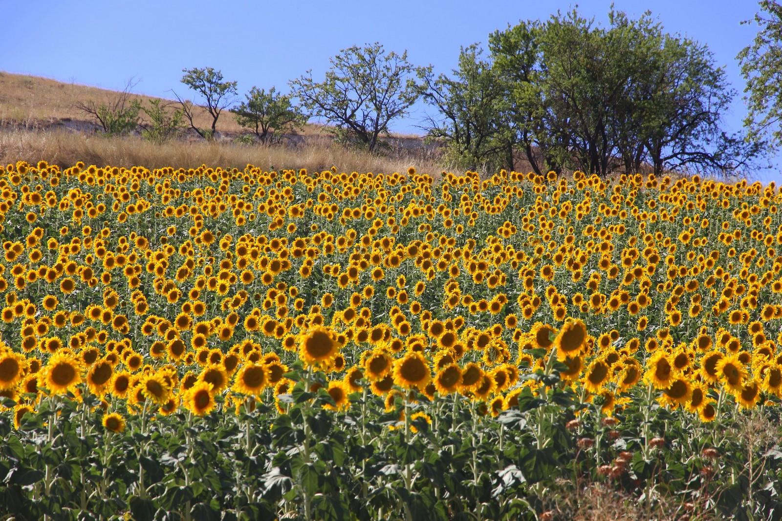 sunflower fields 2 by - photo #30