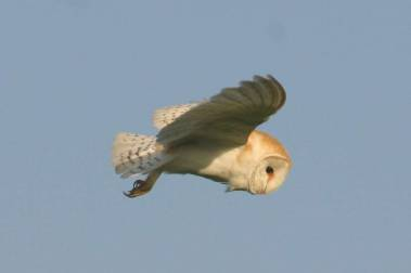 Supporter of the Barn Owl Trust