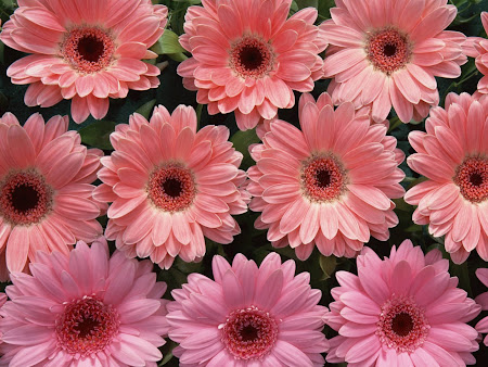 wallpaper bunga, bunga merah muda, bunga pink