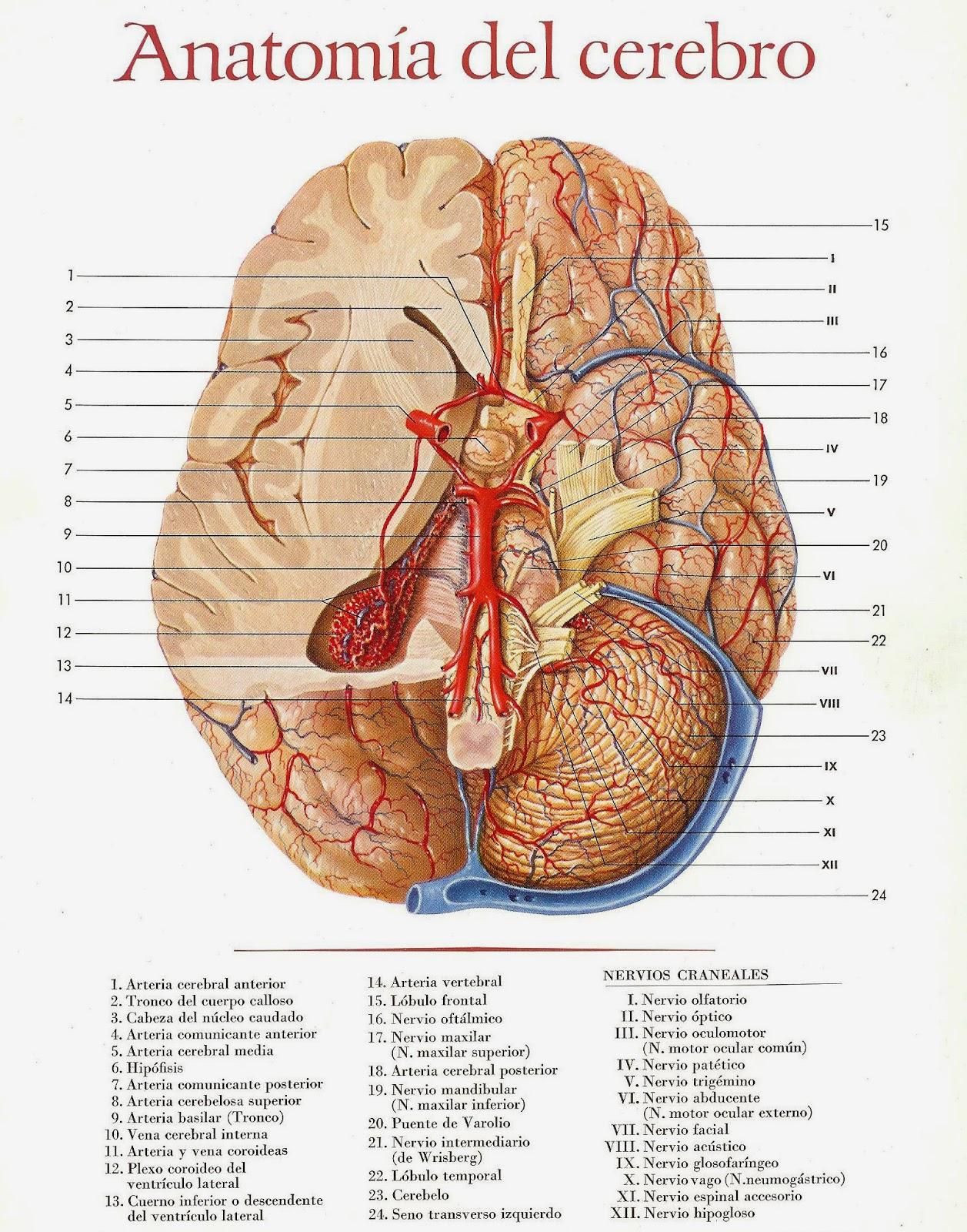 Único La Anatomía Del Cerebro De Rana Viñeta - Anatomía de Las ...