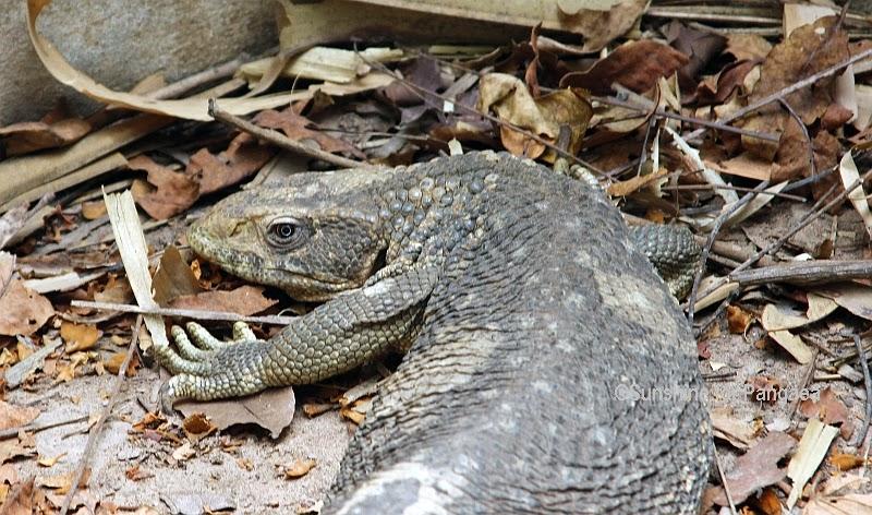Savannah Monitor in Gambia