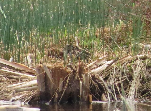 Jack Snipe - Burton Mere Wetlands