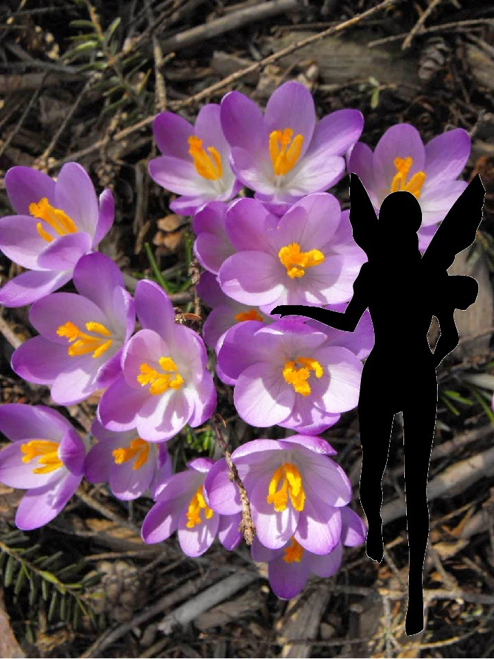 Hazel plays outdoors among the crocus giving each a little love
