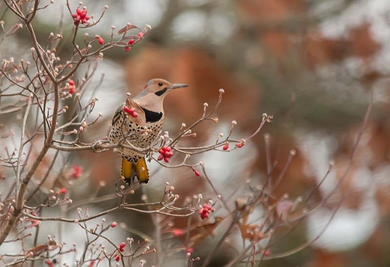 Yellow-shafted Flicker in Dogwood Tree