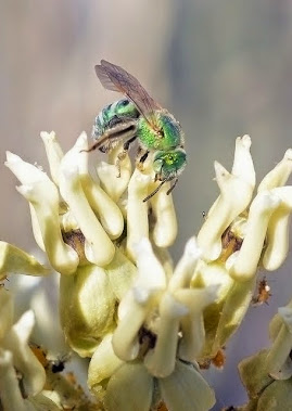 Green Sweet Bee Agapostemon sp  on Asclepias subulata 214