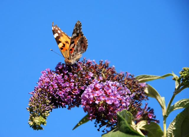 Il mondo in un giardino un albero per le farfalle e non for Alberi da piantare in giardino