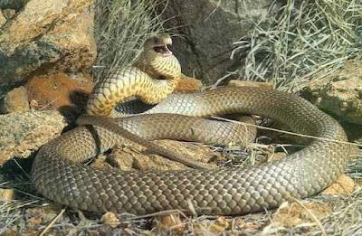 As serpentes mais venenosas já conhecidas pelo homem.