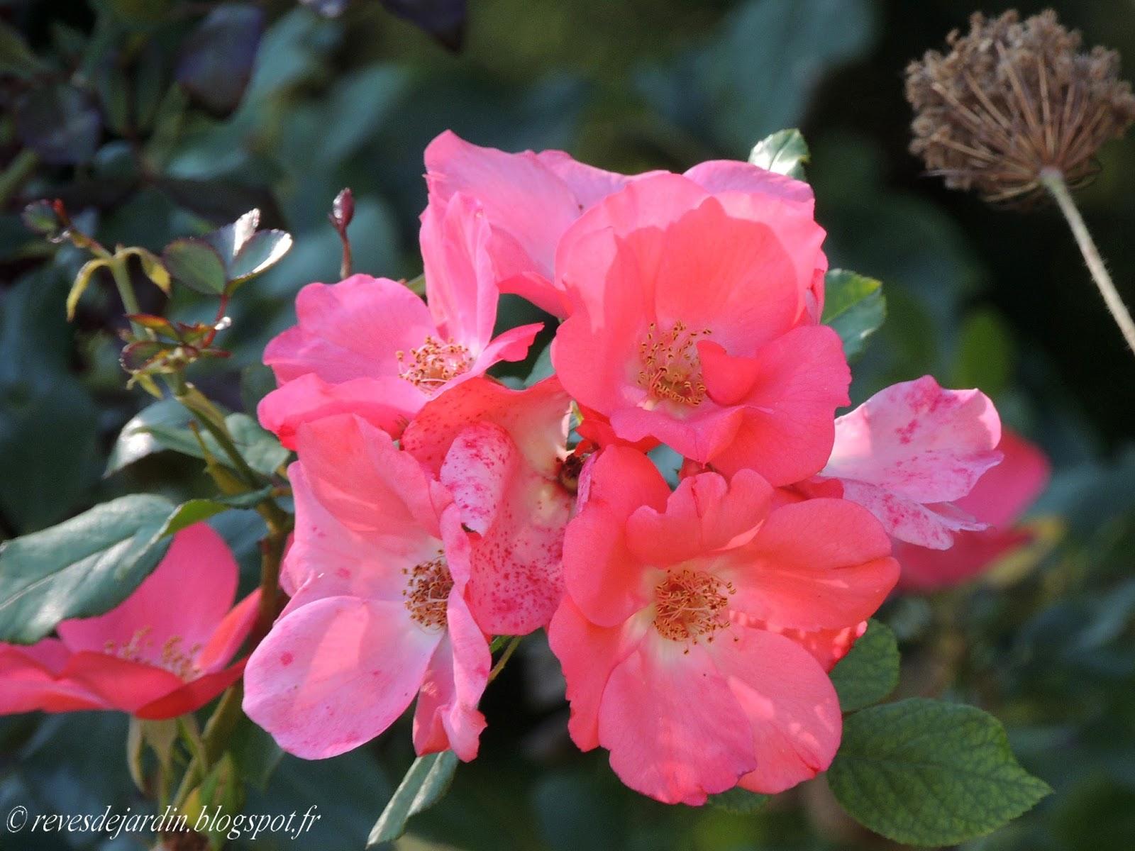 Il etait un petit jard 39 ain poesie jardiniere - Rosier douceur normande ...