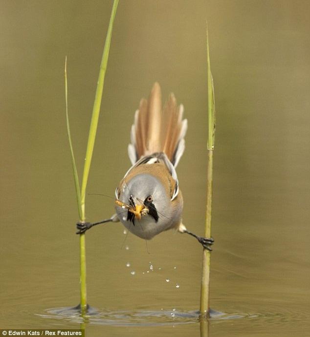 Burung seimbang tubuh dengan berpaut pada 2 batang pokok atas air