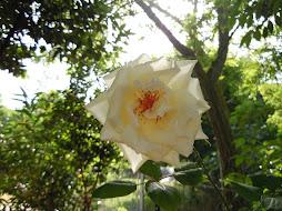 La rosa bianca