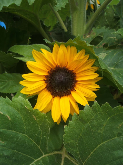 beautiful sunflowers on our allotment plot