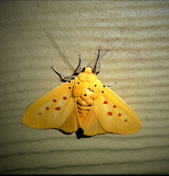 Magnetic Island Moths.