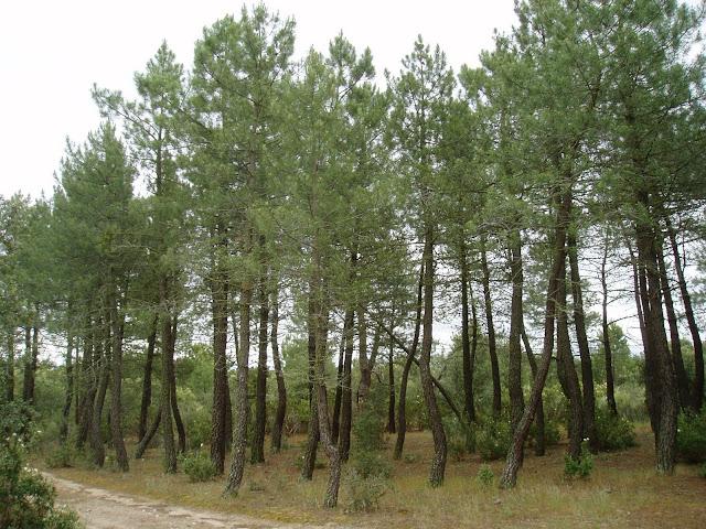 PINOS RESINEROS: Pinus pinaster