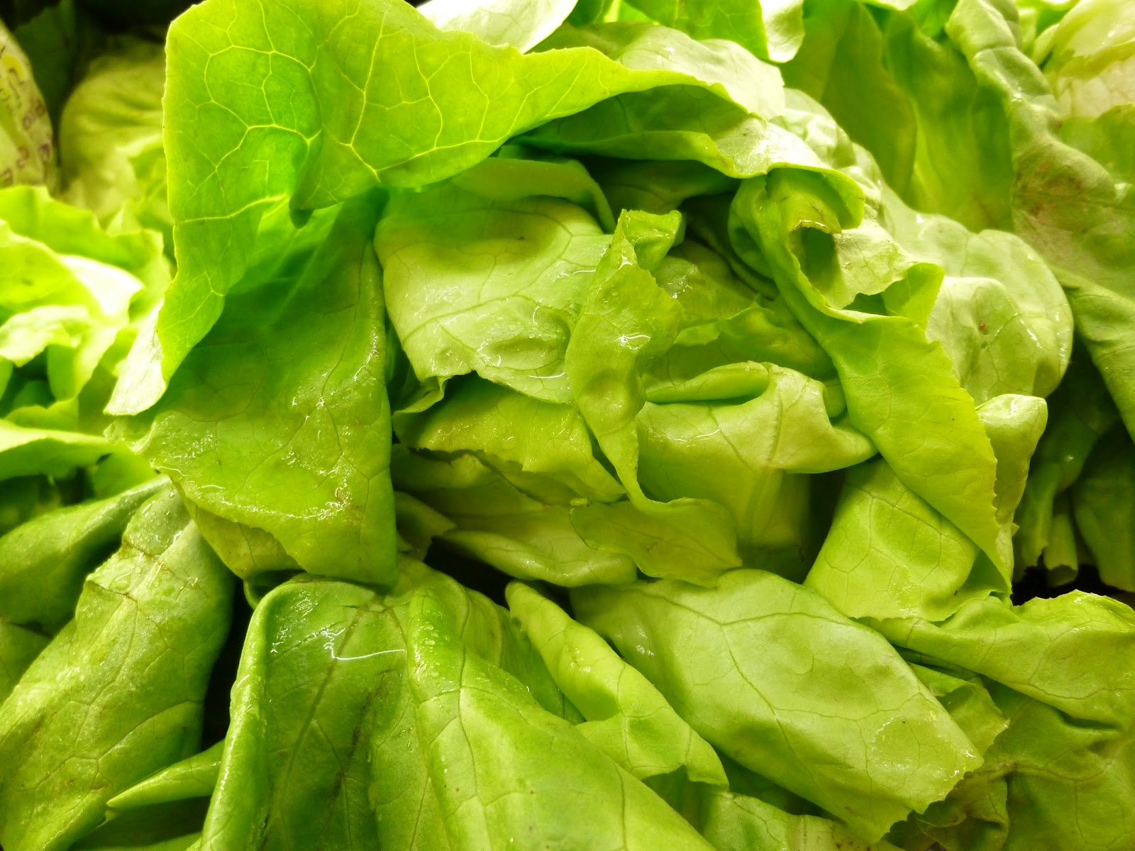 Iceberg Lettuce Drawing Butter lettuce is only 4Iceberg Lettuce Drawing