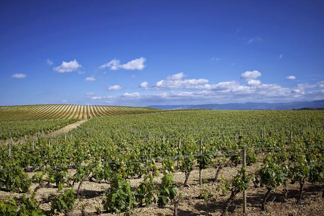 Mar de Viñedos en Rioja Alavesa